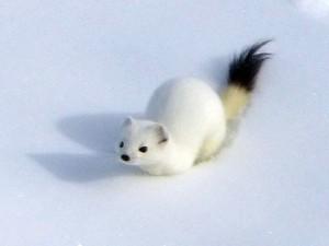 Hermelin im Winterfell