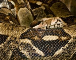 Eine Boa Constrictor aus der Familie der Riesenschlangen